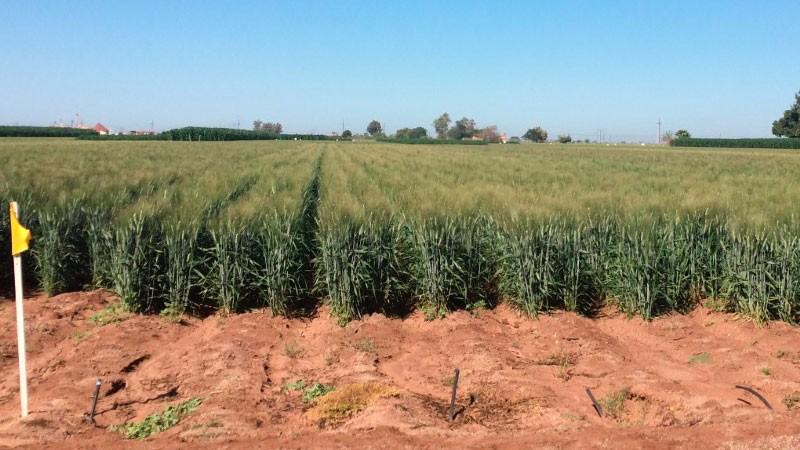 Resultado de imagen para variedad de trigo cristalino Ceneb Oro C2017 imagen